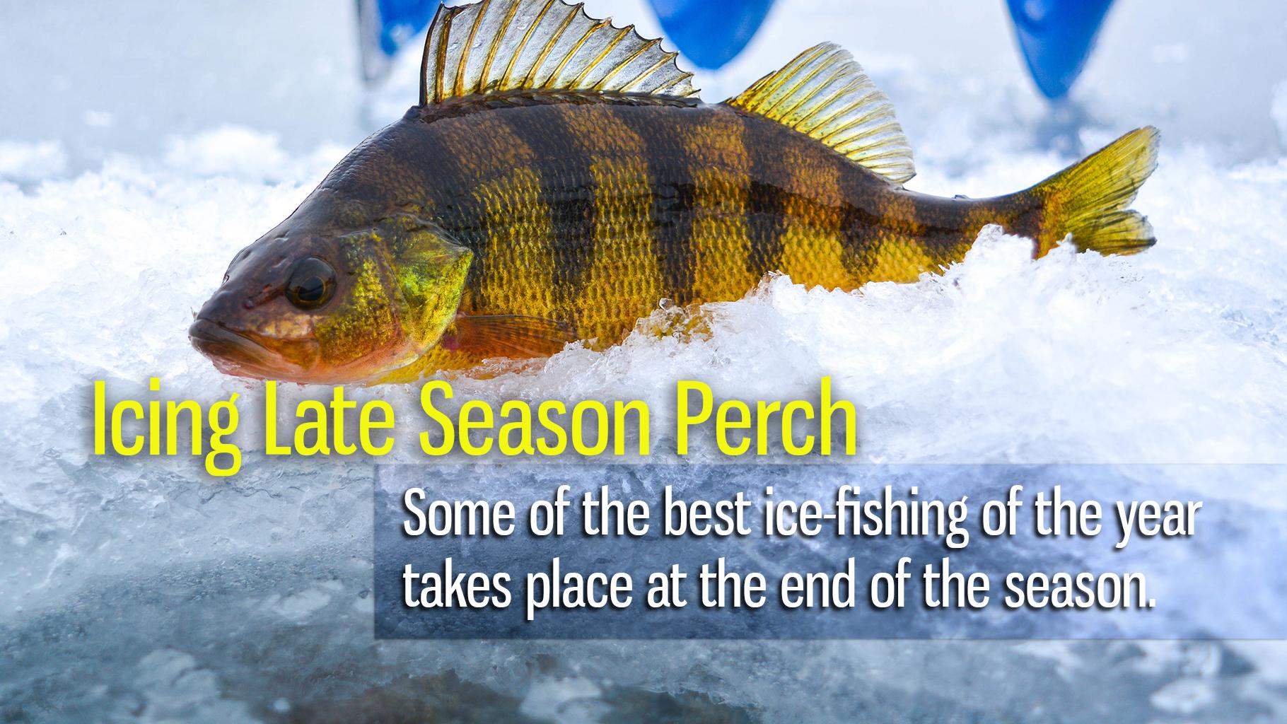Icing Late Season Perch