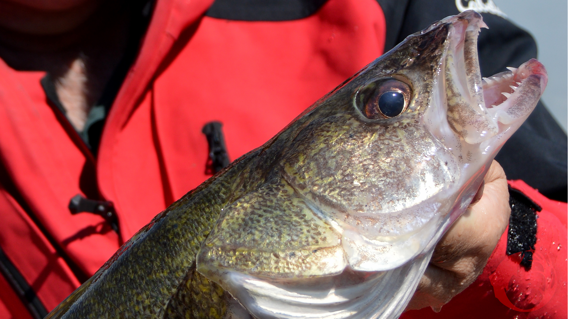 Walleyes On Jigs Right Now