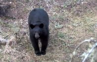 Canadian Black Bear Hunt