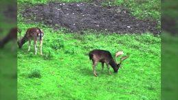 Fallow Deer Hunt in Austria