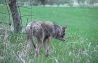 Hungry Coyote Attacks Turkey Decoy